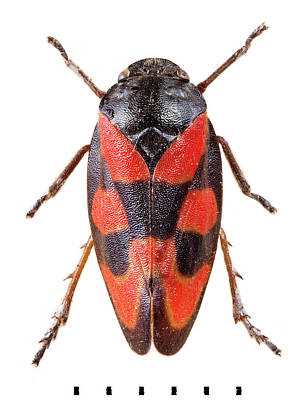 Frog Photograph - Black-and-red Froghopper by Natural History Museum, London
