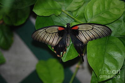 Photograph - Black And Red Swallowtail by Mark McReynolds