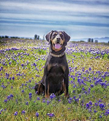 Photograph - Black And Tan Coonhound In Field Of by Sunmallia Photography