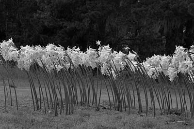Photograph - Black And White Amaryllis by Denice Breaux