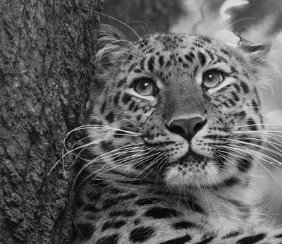 Black And White Amur Leopard Art Print by Chris Boulton