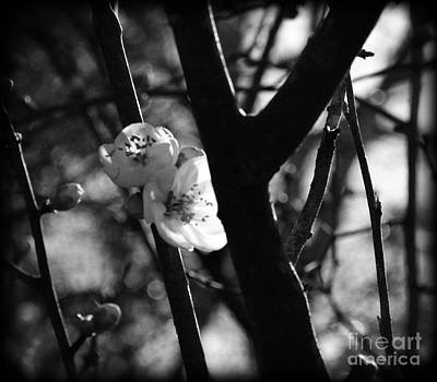 Photograph - Black And White Appleblossom by Eva Thomas
