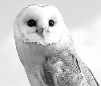 Photograph - Black And White Barn Owl by Dan Sproul