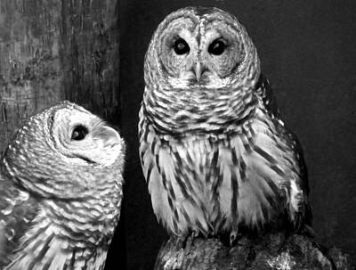 Photograph - Black And White Barred Owls by Judy Wanamaker