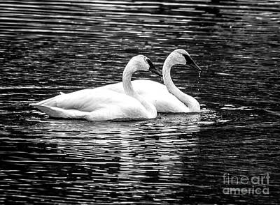 Photograph - Black And White Beauties by Cheryl Baxter