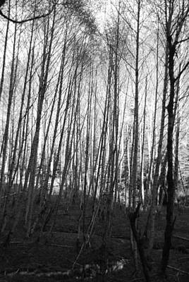 Photograph - Black And White Birch Stand by Michael Merry