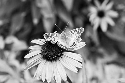 Photograph - Black And White Butterfly by Debbie Sikes