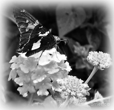 Photograph - Black And White Butterfly by Eva Thomas