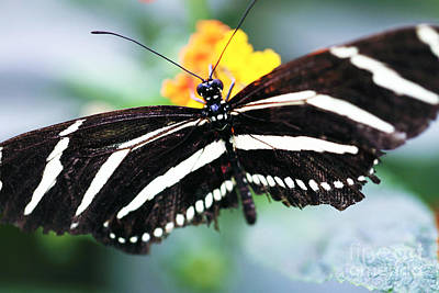 Photograph - Black And White Butterfly by John Rizzuto