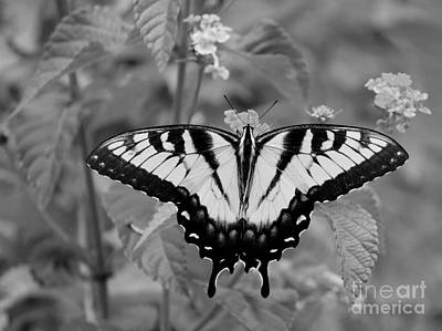 Photograph - Black And White Butterfly Swallowtail Wing Expansion by Jackie Farnsworth