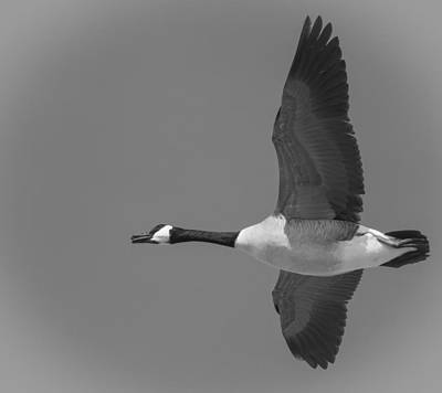 Canadian Marsh Photograph - Black And White Canadian Goose  by Thomas Young