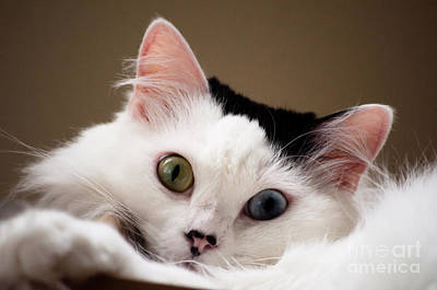 Turkish Van Cat Photograph - Black And White Cat by Kaitlyn Leingang