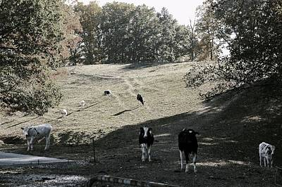 Photograph - Black And White Cattle by Elizabeth King