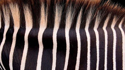 Photograph - Black And White Crest Of A Zebra by Weston Westmoreland