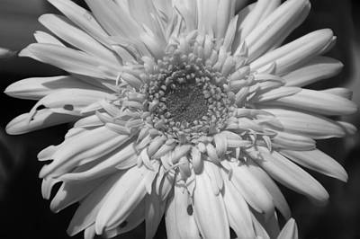 Photograph - Black And White Daisy by Aimee L Maher Photography and Art Visit ALMGallerydotcom