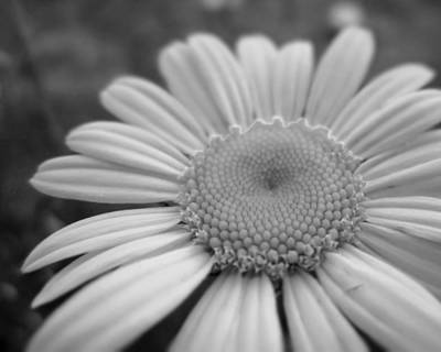 Black And White Daisy Art Print