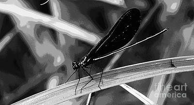 Photograph - Black And White Damselfly by Donna Brown