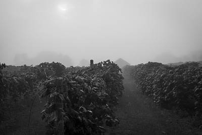 Photograph - Black And White Foggy Morning At The Vineyard by Amber Kresge