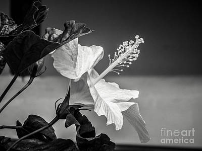 Photograph - Black And White Hibiscus by Jaclyn Hughes Fine Art