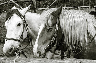 Photograph - Black And White Horses. by Slavica Koceva