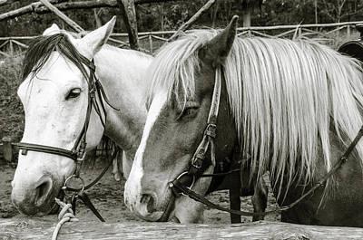 Photograph - Black And White Horses. by Slavica Koceva
