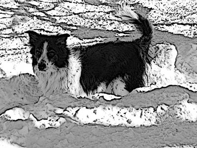 Border Collie Photograph - Black And White In Snow by Michael Porchik