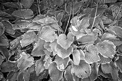 Photograph - Black And White Infrared Photograph Of Plant Leaves by Randall Nyhof