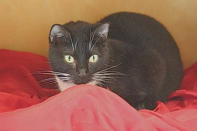 Photograph - Black And White Kitty At Pet Helpers by Jeanne Kay Juhos