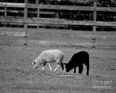 Photograph - Black And White Lambs by Bob Sample