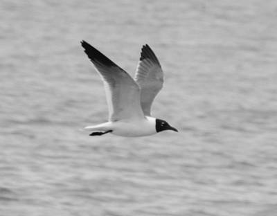 Photograph - Black And White Laughing Gull In Flight by Richard Bryce and Family