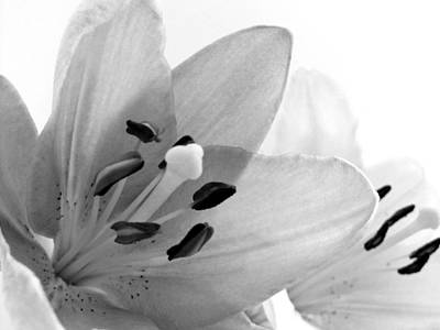 Lilies Photos - Black and White Lilies by Marianna Mills