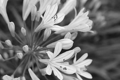 Photograph - Black And White Lily by Veronica Vandenburg