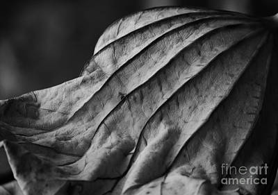Photograph - Black And White Lotus Leaf by Jane Ford