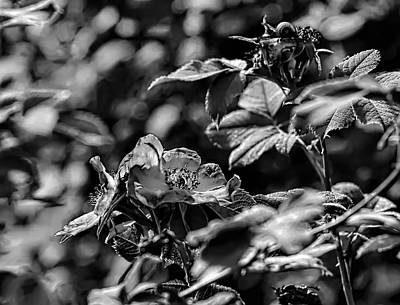 Photograph - Black And White Monochromatic Two Dogroses Summer 2014 by Leif Sohlman