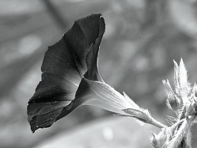 Photograph - Black And White Morning Glory by Carol Montoya