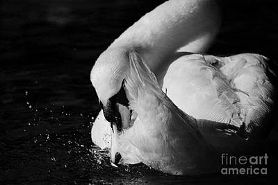 Photograph - Black And White Mute Swan by Sue Harper