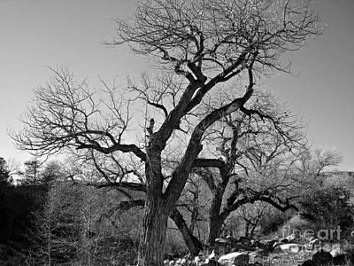 Art Print featuring the photograph Black And White Oak by Janice Westerberg