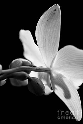 Black And White Orchid  Original