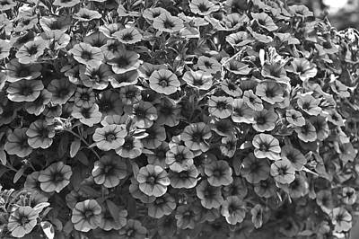 Photograph - Black And White Petunias by Aimee L Maher Photography and Art Visit ALMGallerydotcom