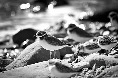 Photograph - Black And White Plovers by Cheryl Baxter