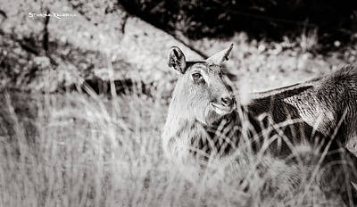 Photograph - Black And White Portrait Of An Innocent Doe by Stwayne Keubrick
