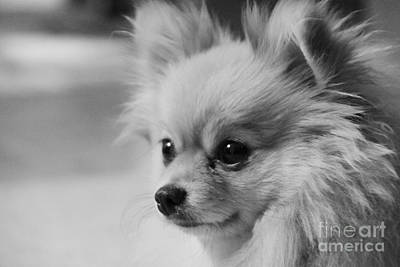 Photograph - Black And White Portrait Of Pixie The Pomeranian by Jennifer E Doll