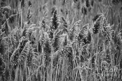Photograph - Black And White River Stalks by Jackie Farnsworth