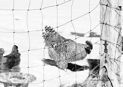 Photograph - Black And White Rooster by Denise Romano