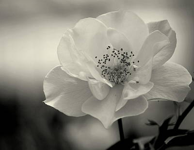 Photograph - Black And White Rose by Amee Cave