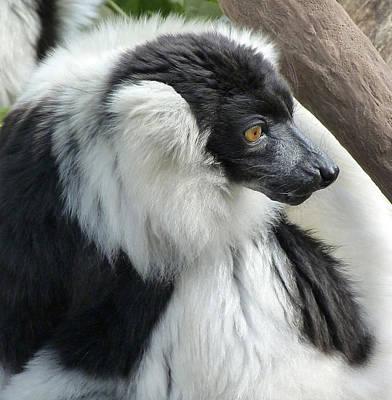Photograph - Black And White Ruffed Lemur by Margaret Saheed