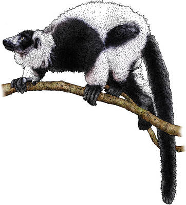 Photograph - Black-and-white Ruffed Lemur by Roger Hall