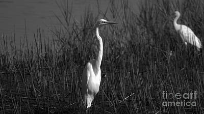 Photograph - Black And White Shore Birds  by Bob Sample
