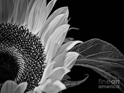 Photograph - Black And White Sunflower by Karen Lewis