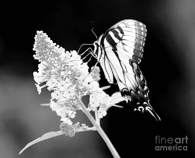 Photograph - Black And White Swallowtail Butterfly by Jackie Farnsworth
